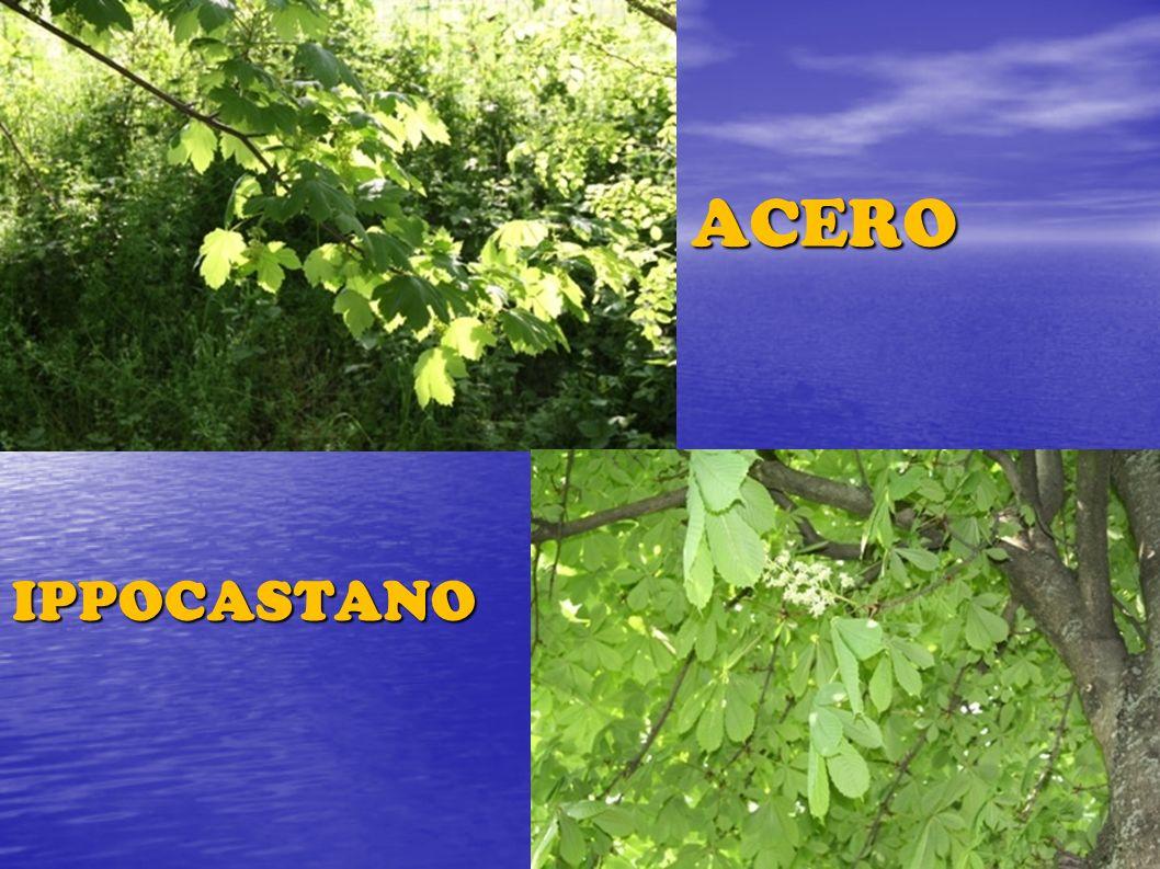 ACERO IPPOCASTANO