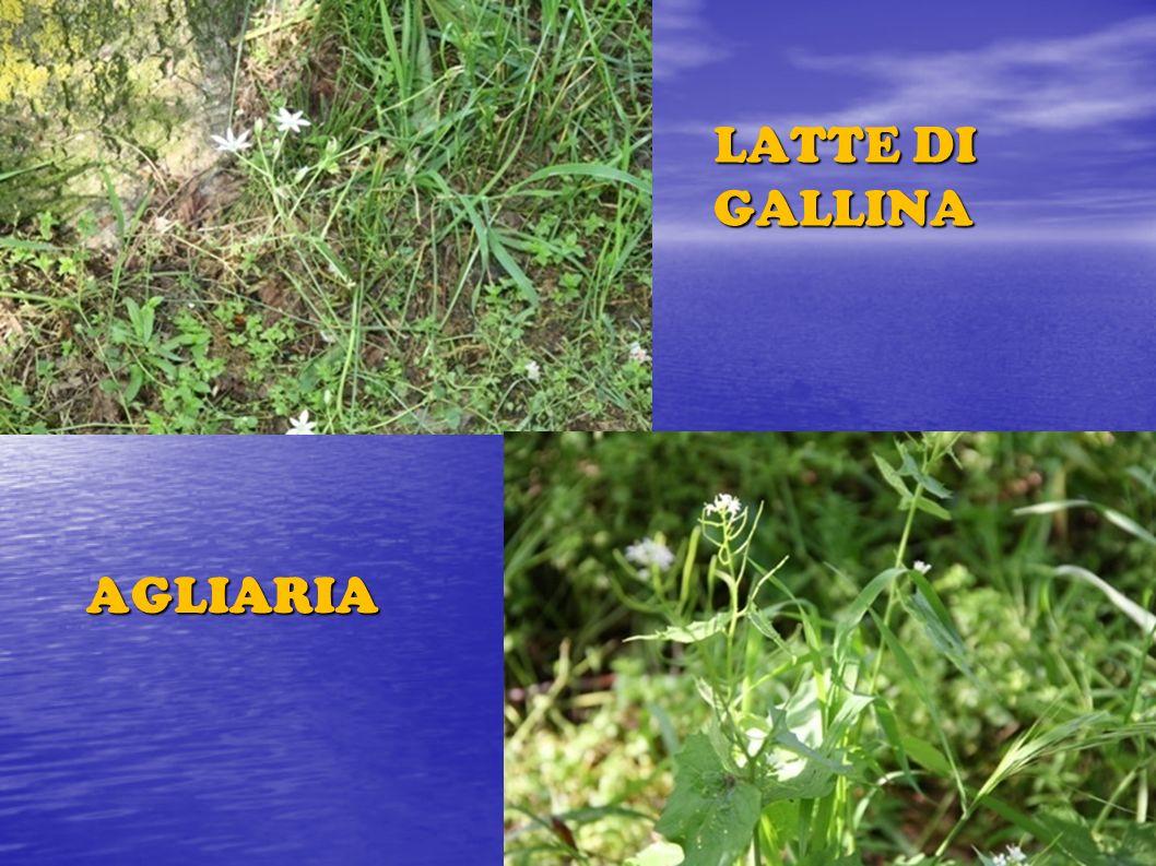 LATTE DI GALLINA AGLIARIA