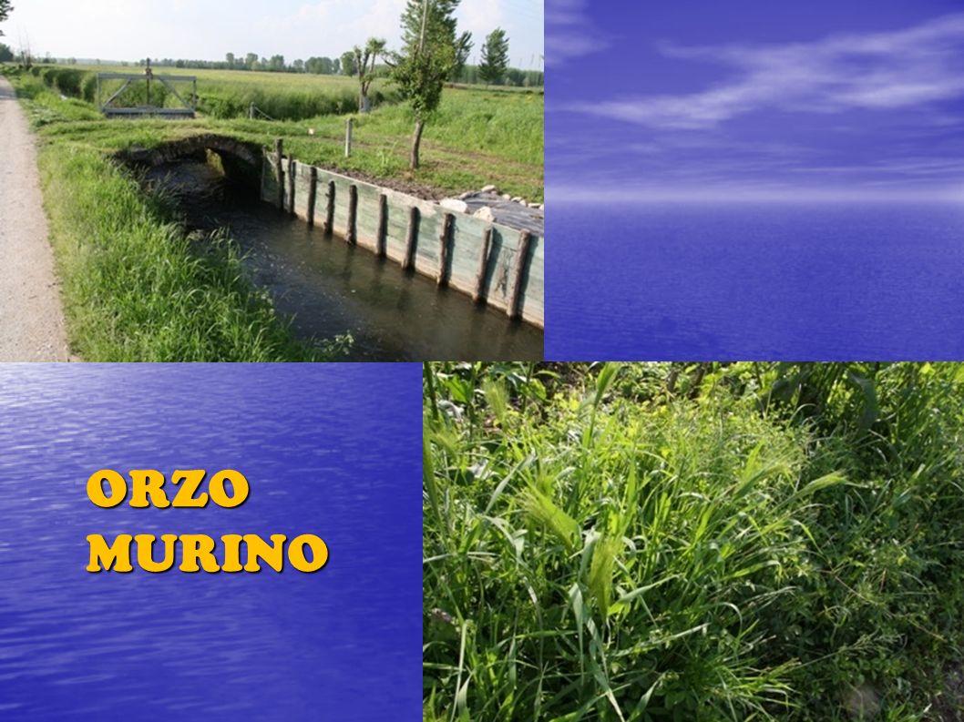 ORZO MURINO