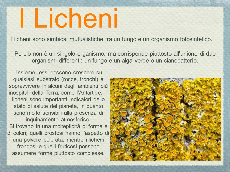 I Licheni I licheni sono simbiosi mutualistiche fra un fungo e un organismo fotosintetico.