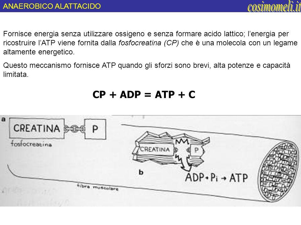 cosimomeli.it CP + ADP = ATP + C ANAEROBICO ALATTACIDO