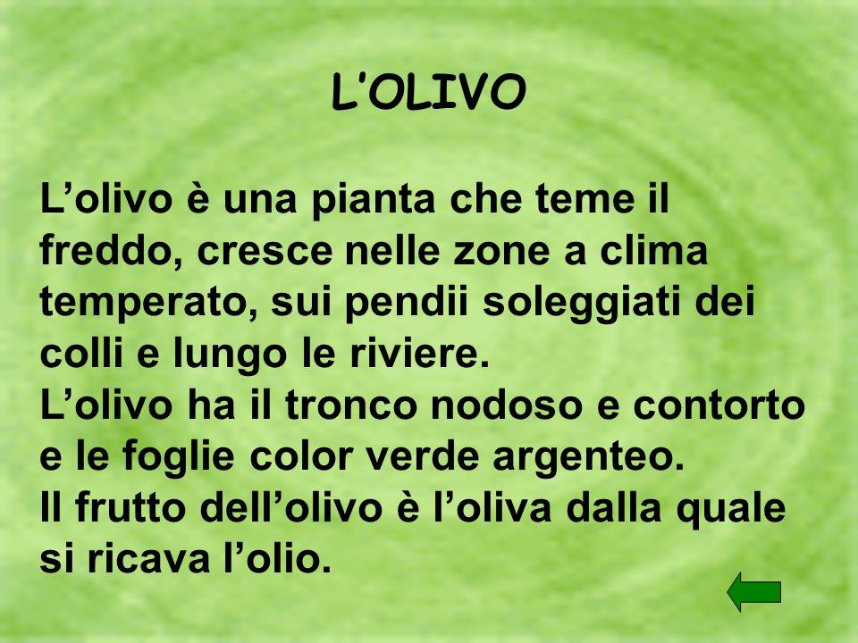 L'OLIVO L'olivo è una pianta che teme il freddo, cresce nelle zone a clima temperato, sui pendii soleggiati dei colli e lungo le riviere.