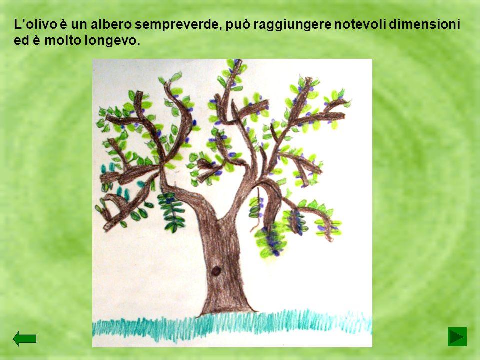 L'olivo è un albero sempreverde, può raggiungere notevoli dimensioni ed è molto longevo.
