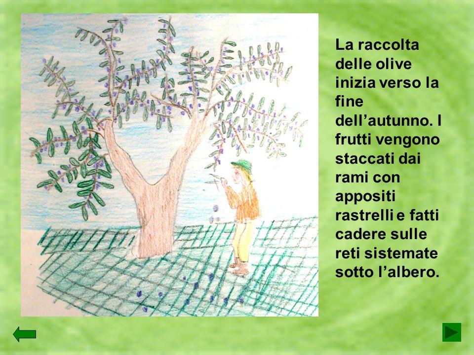 La raccolta delle olive inizia verso la fine dell'autunno