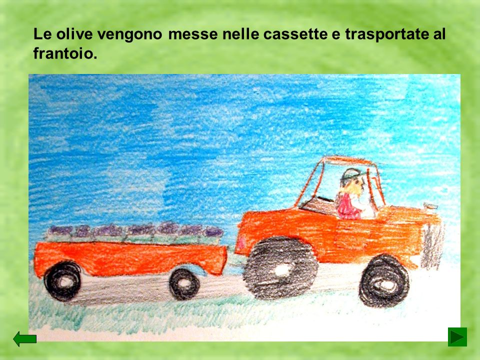 Le olive vengono messe nelle cassette e trasportate al frantoio.