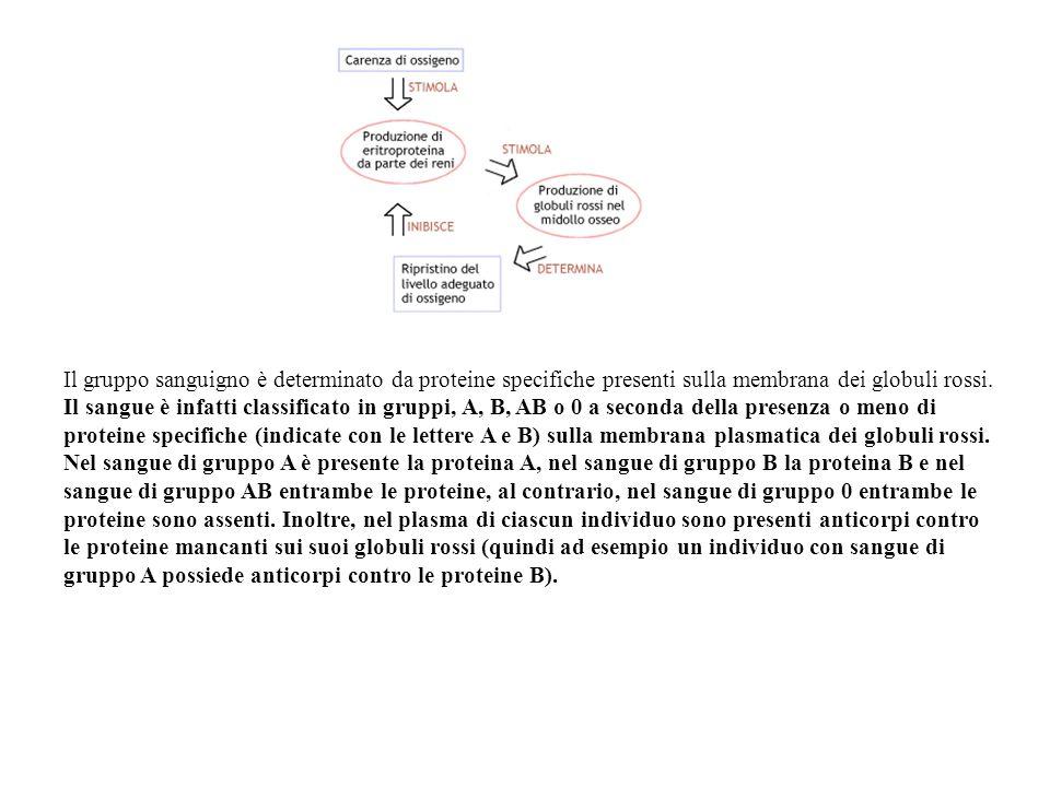 Il gruppo sanguigno è determinato da proteine specifiche presenti sulla membrana dei globuli rossi.