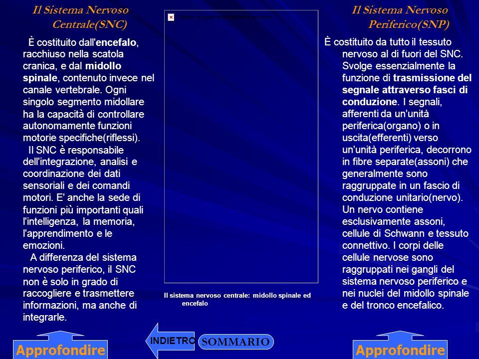 Il Sistema Nervoso Centrale(SNC) Il Sistema Nervoso Periferico(SNP)