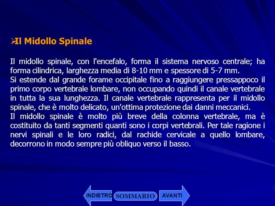 Il Midollo Spinale