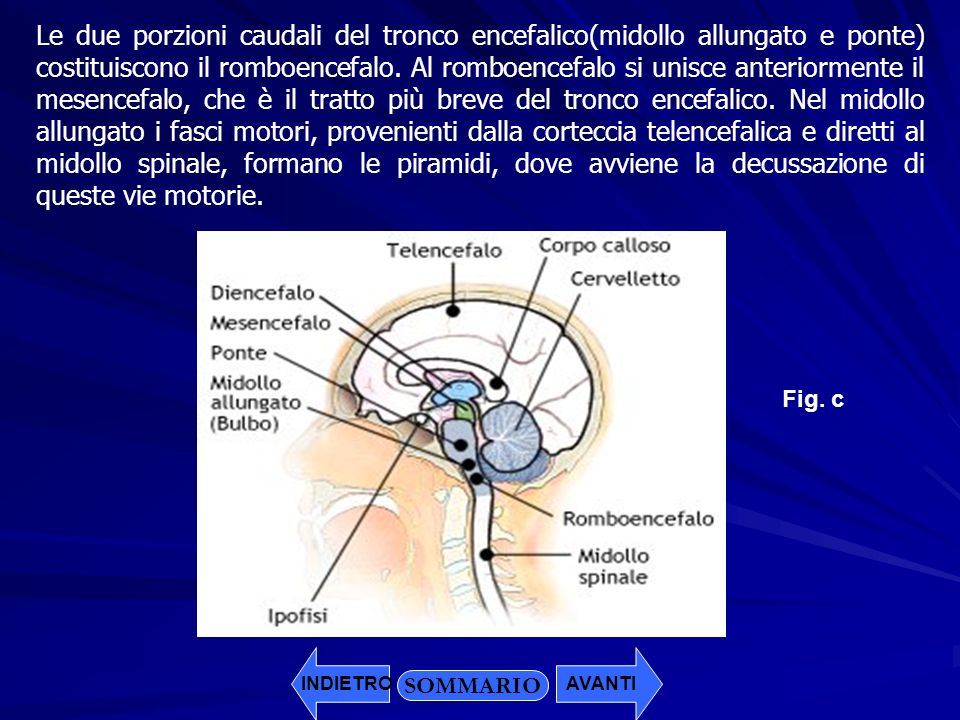 Le due porzioni caudali del tronco encefalico(midollo allungato e ponte) costituiscono il romboencefalo. Al romboencefalo si unisce anteriormente il mesencefalo, che è il tratto più breve del tronco encefalico. Nel midollo allungato i fasci motori, provenienti dalla corteccia telencefalica e diretti al midollo spinale, formano le piramidi, dove avviene la decussazione di queste vie motorie.