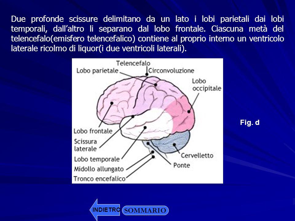 Due profonde scissure delimitano da un lato i lobi parietali dai lobi temporali, dall'altro li separano dal lobo frontale. Ciascuna metà del telencefalo(emisfero telencefalico) contiene al proprio interno un ventricolo laterale ricolmo di liquor(i due ventricoli laterali).