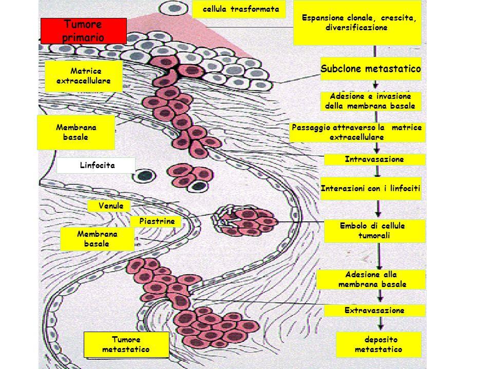 Passaggio attraverso la matrice Interazioni con i linfociti