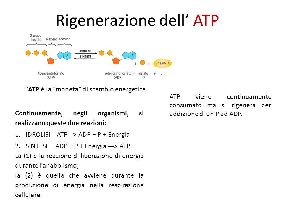 Rigenerazione dell' ATP