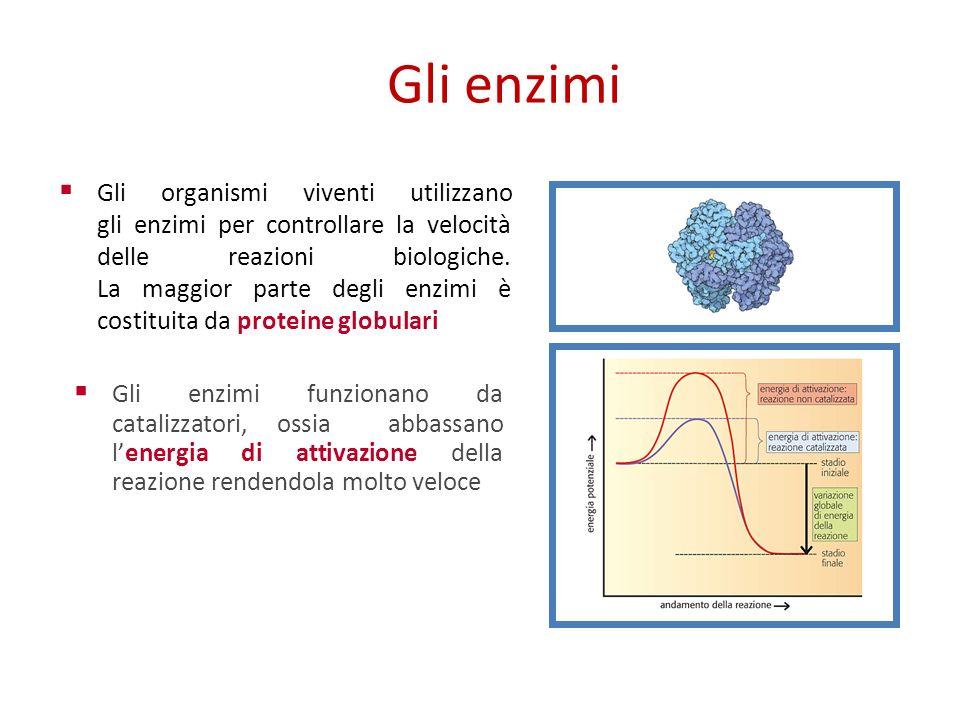 Gli enzimi