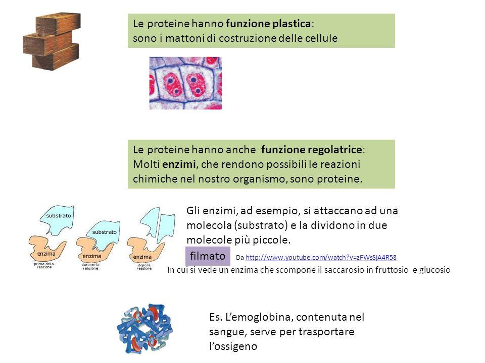 Le proteine hanno funzione plastica: