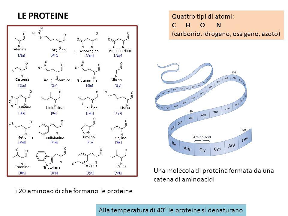 LE PROTEINE Quattro tipi di atomi: C H O N