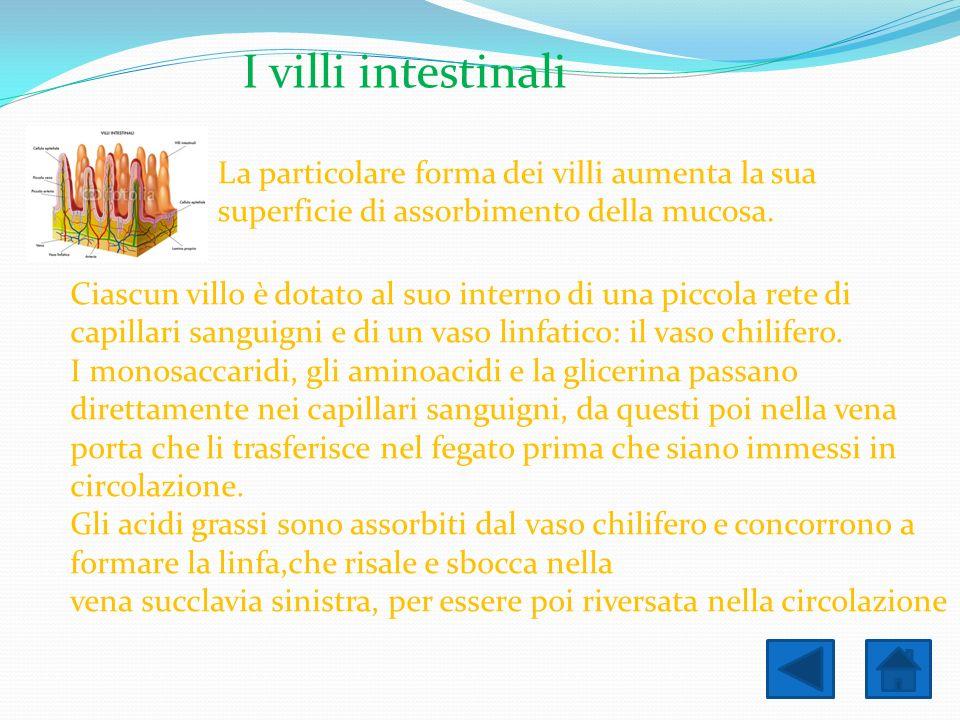 I villi intestinali La particolare forma dei villi aumenta la sua superficie di assorbimento della mucosa.