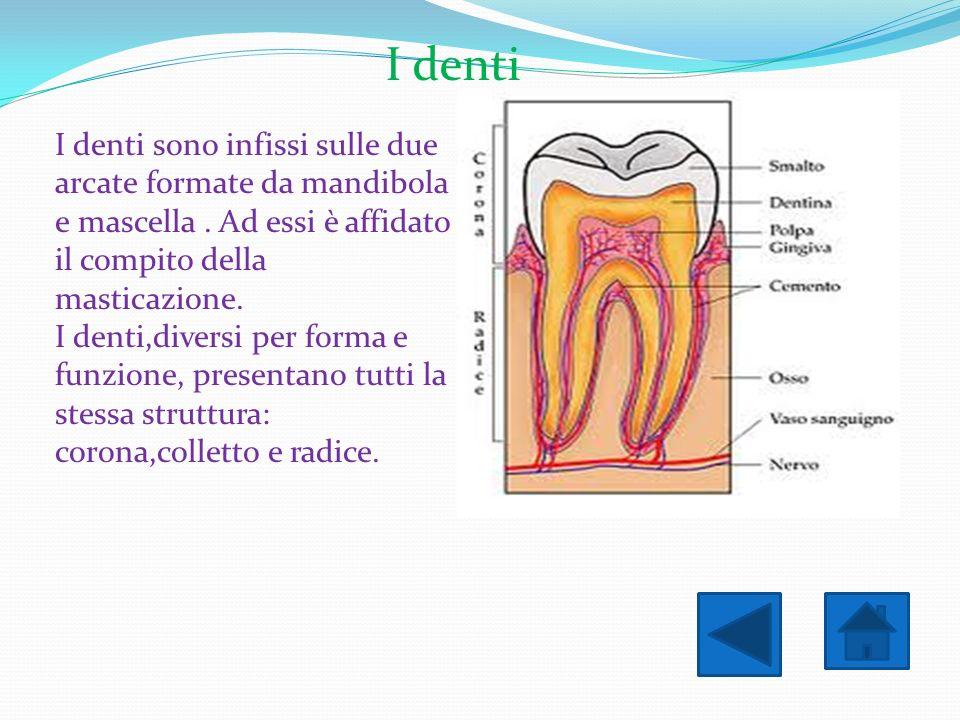 I denti I denti sono infissi sulle due arcate formate da mandibola e mascella . Ad essi è affidato il compito della masticazione.