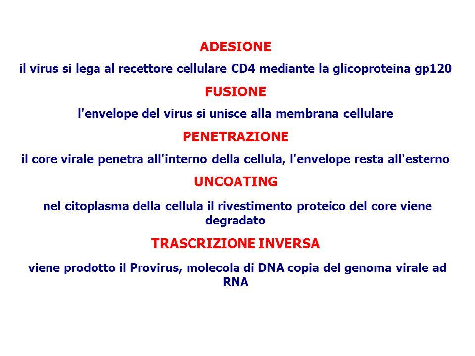 l envelope del virus si unisce alla membrana cellulare