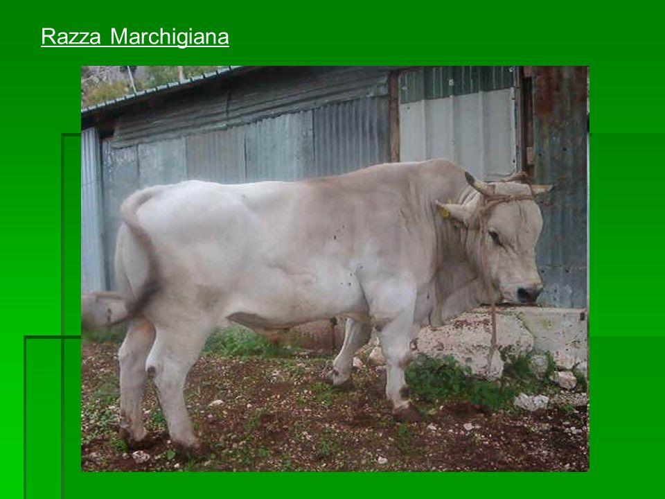 Razza Marchigiana