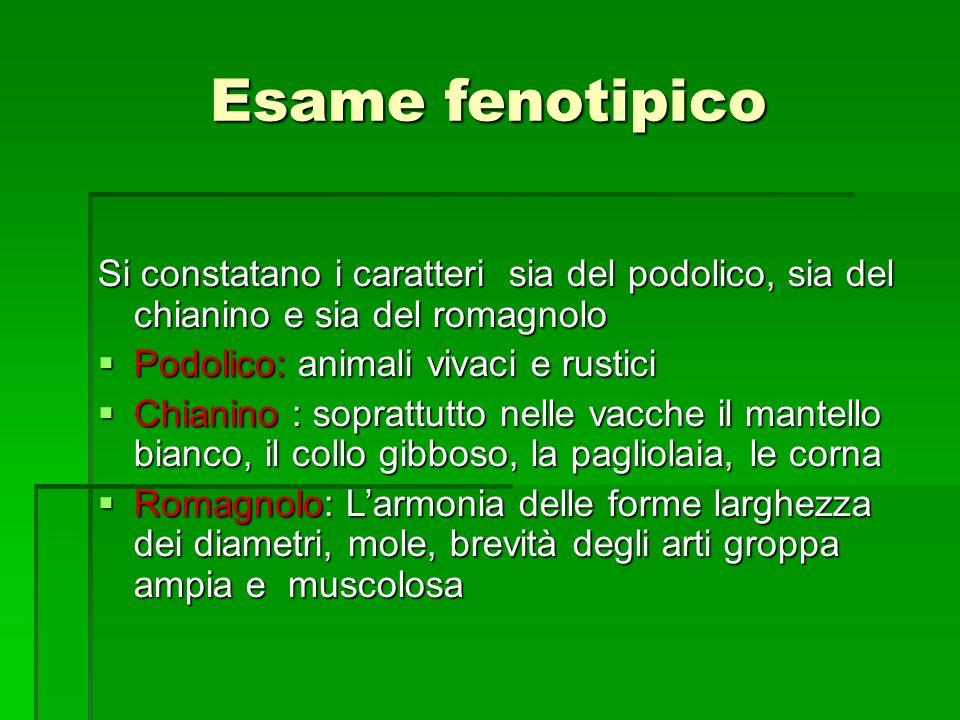 Esame fenotipico Si constatano i caratteri sia del podolico, sia del chianino e sia del romagnolo.