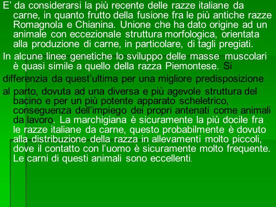 E' da considerarsi la più recente delle razze italiane da carne, in quanto frutto della fusione fra le più antiche razze Romagnola e Chianina. Unione che ha dato origine ad un animale con eccezionale struttura morfologica, orientata alla produzione di carne, in particolare, di tagli pregiati.