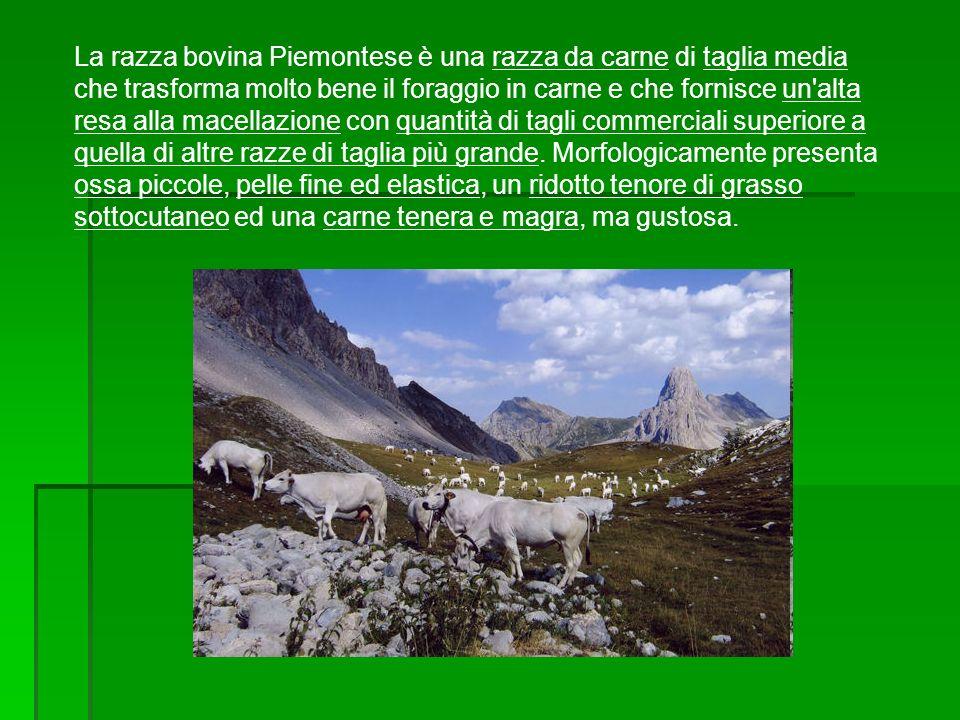 La razza bovina Piemontese è una razza da carne di taglia media che trasforma molto bene il foraggio in carne e che fornisce un alta resa alla macellazione con quantità di tagli commerciali superiore a quella di altre razze di taglia più grande.