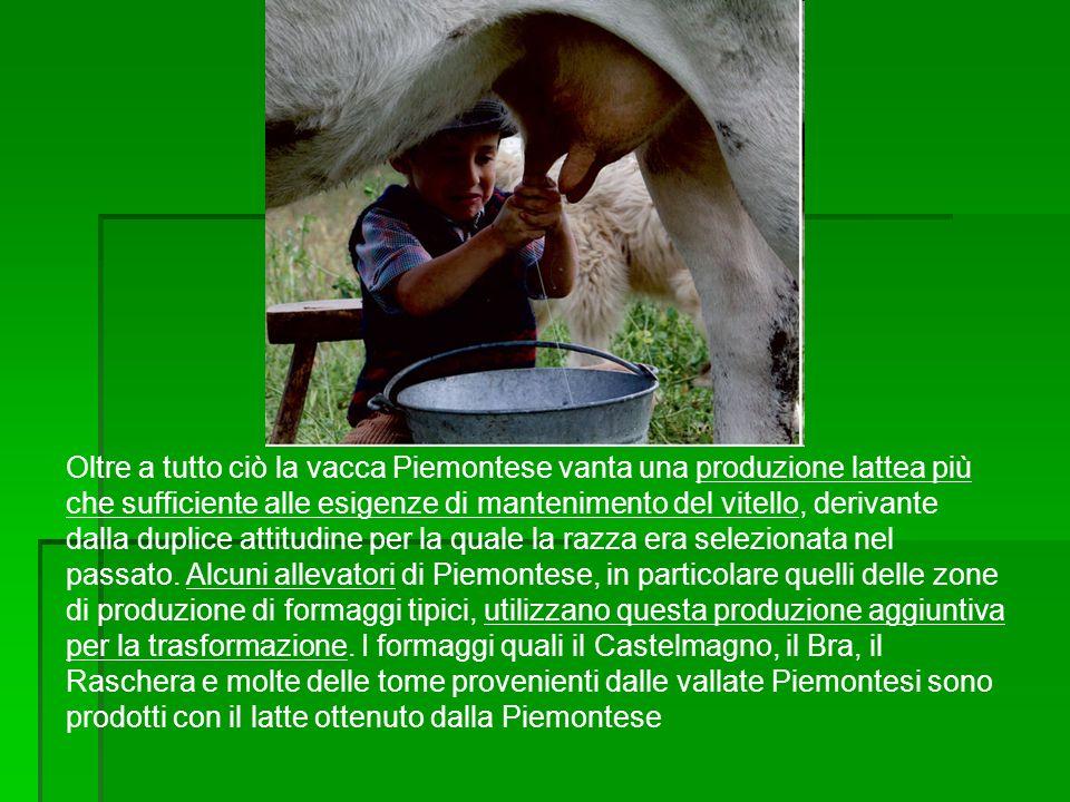 Oltre a tutto ciò la vacca Piemontese vanta una produzione lattea più che sufficiente alle esigenze di mantenimento del vitello, derivante dalla duplice attitudine per la quale la razza era selezionata nel passato.