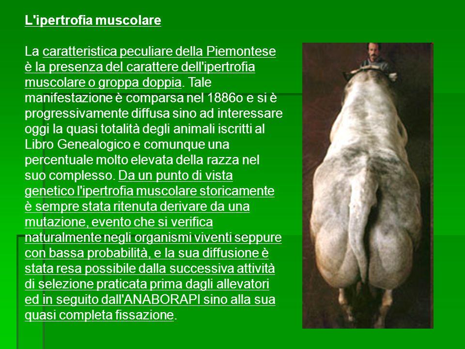 L ipertrofia muscolare