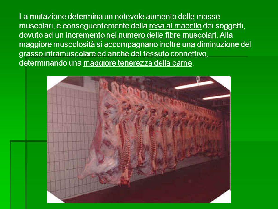 La mutazione determina un notevole aumento delle masse muscolari, e conseguentemente della resa al macello dei soggetti, dovuto ad un incremento nel numero delle fibre muscolari.