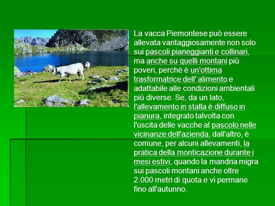 La vacca Piemontese può essere allevata vantaggiosamente non solo sui pascoli pianeggianti e collinari, ma anche su quelli montani più poveri, perché è un ottima trasformatrice dell alimento e adattabile alle condizioni ambientali più diverse.