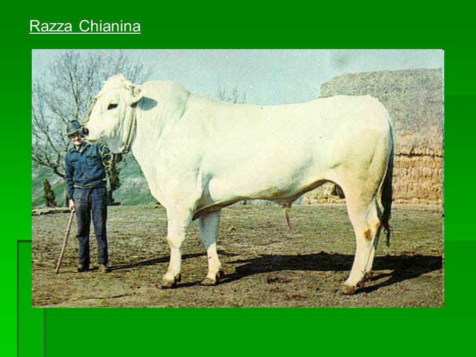 Razza Chianina