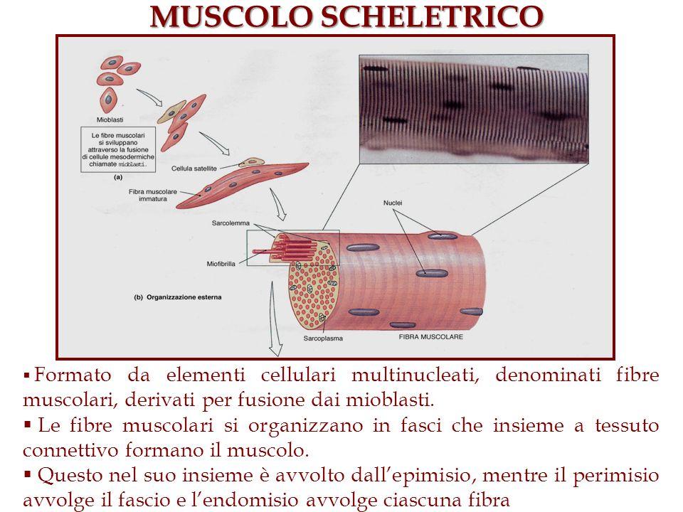 MUSCOLO SCHELETRICO Formato da elementi cellulari multinucleati, denominati fibre muscolari, derivati per fusione dai mioblasti.