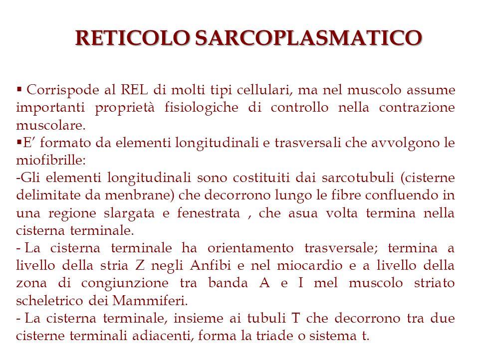 RETICOLO SARCOPLASMATICO