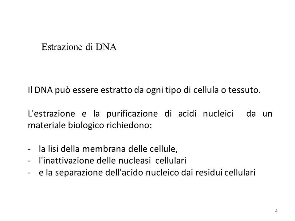 Estrazione di DNA Il DNA può essere estratto da ogni tipo di cellula o tessuto.
