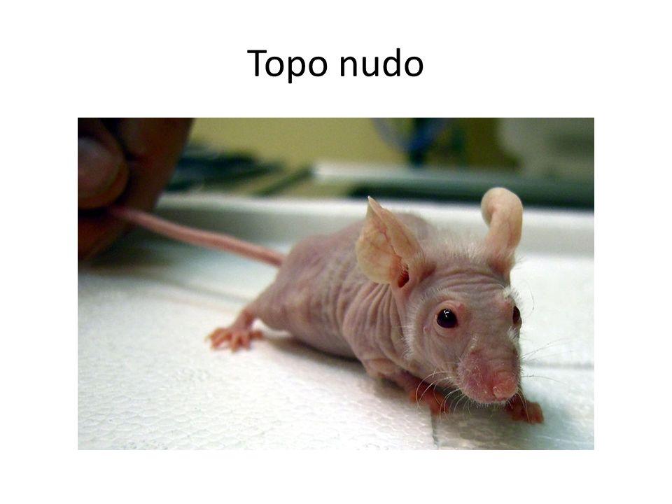 Topo nudo