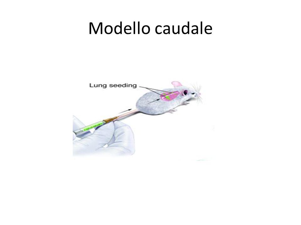 Modello caudale