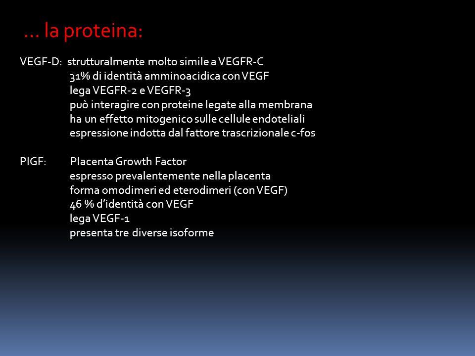 … la proteina: VEGF-D: strutturalmente molto simile a VEGFR-C
