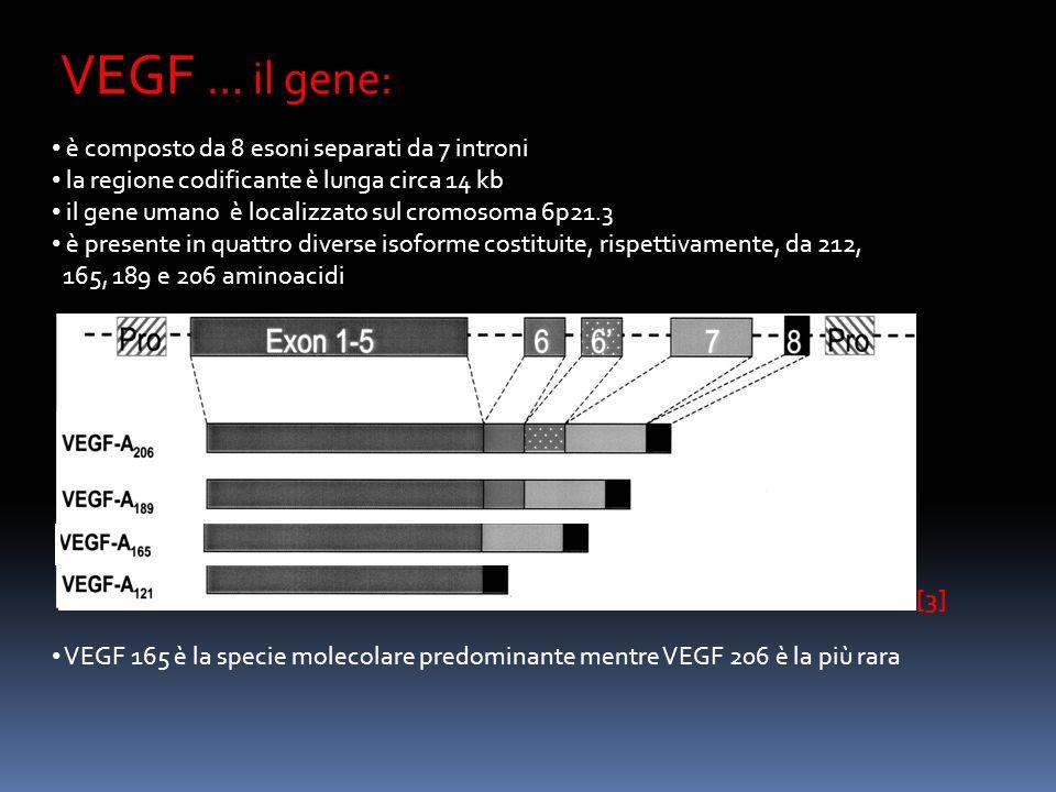VEGF … il gene: è composto da 8 esoni separati da 7 introni