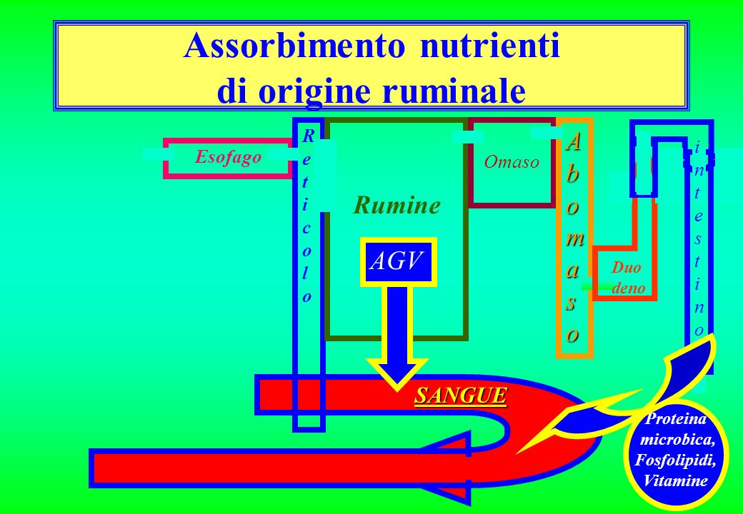 Assorbimento nutrienti di origine ruminale