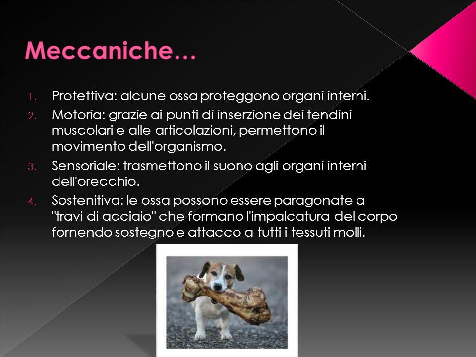 Meccaniche… Protettiva: alcune ossa proteggono organi interni.