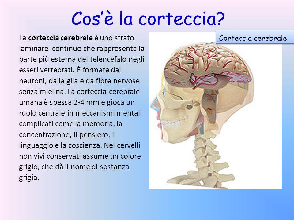 Cos'è la corteccia