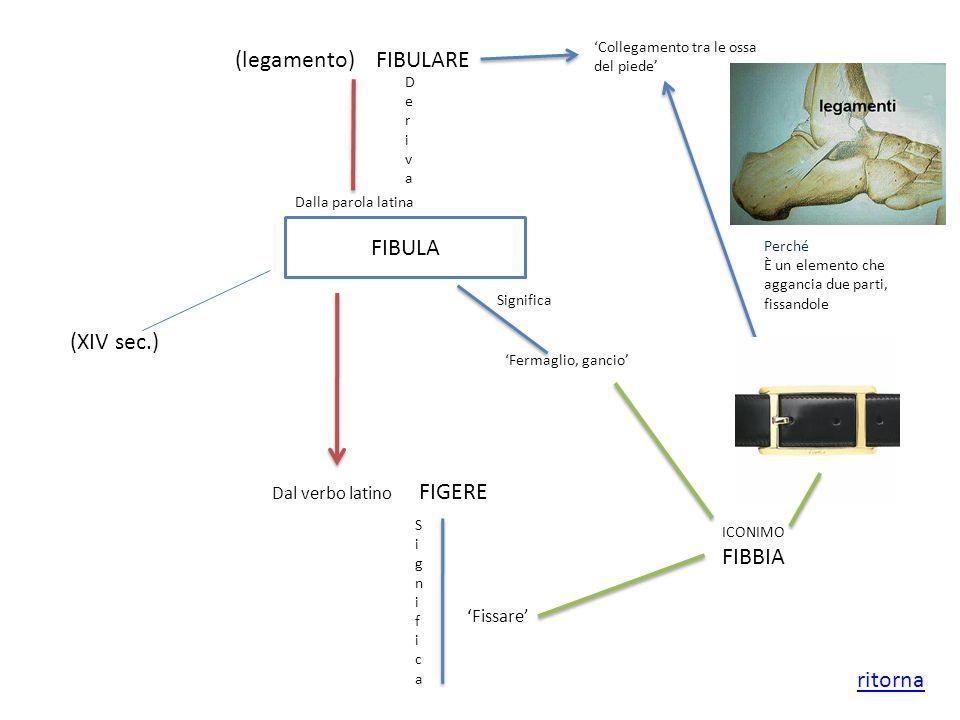(legamento) FIBULARE FIBULA (XIV sec.) FIBBIA ritorna