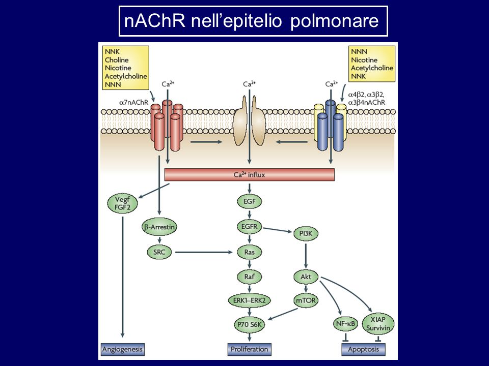 nAChR nell'epitelio polmonare