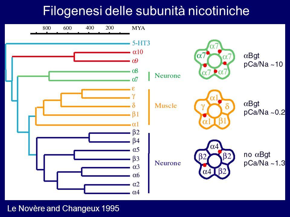 Filogenesi delle subunità nicotiniche