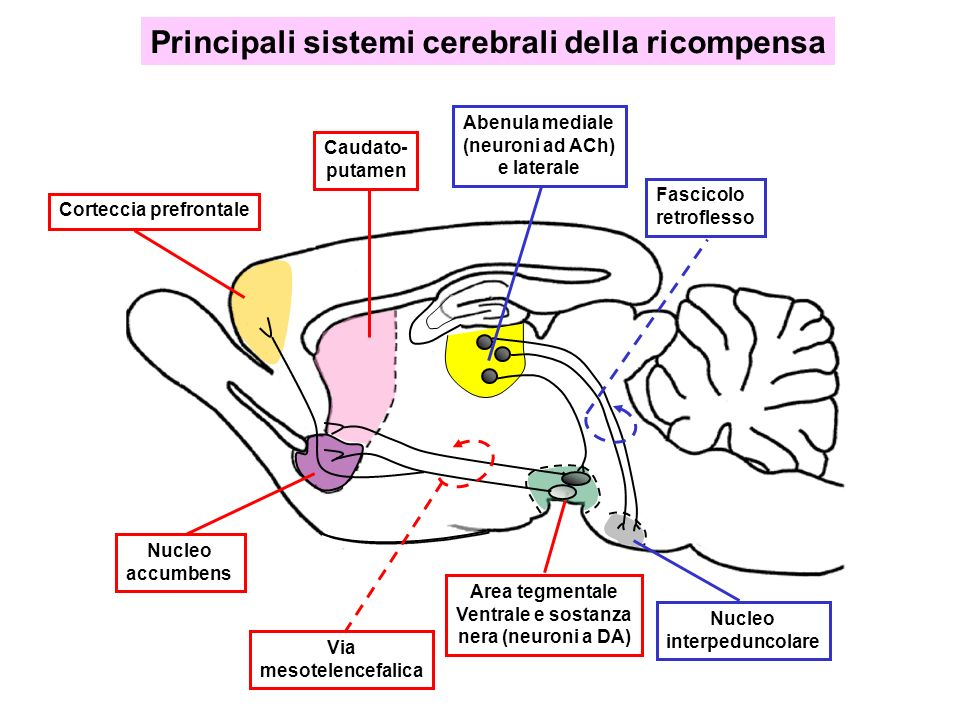 Principali sistemi cerebrali della ricompensa