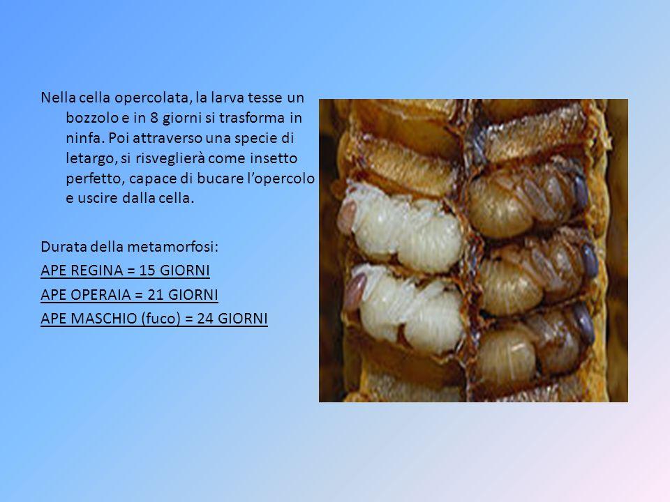 Nella cella opercolata, la larva tesse un bozzolo e in 8 giorni si trasforma in ninfa.