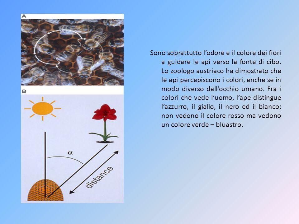 Sono soprattutto l'odore e il colore dei fiori a guidare le api verso la fonte di cibo.