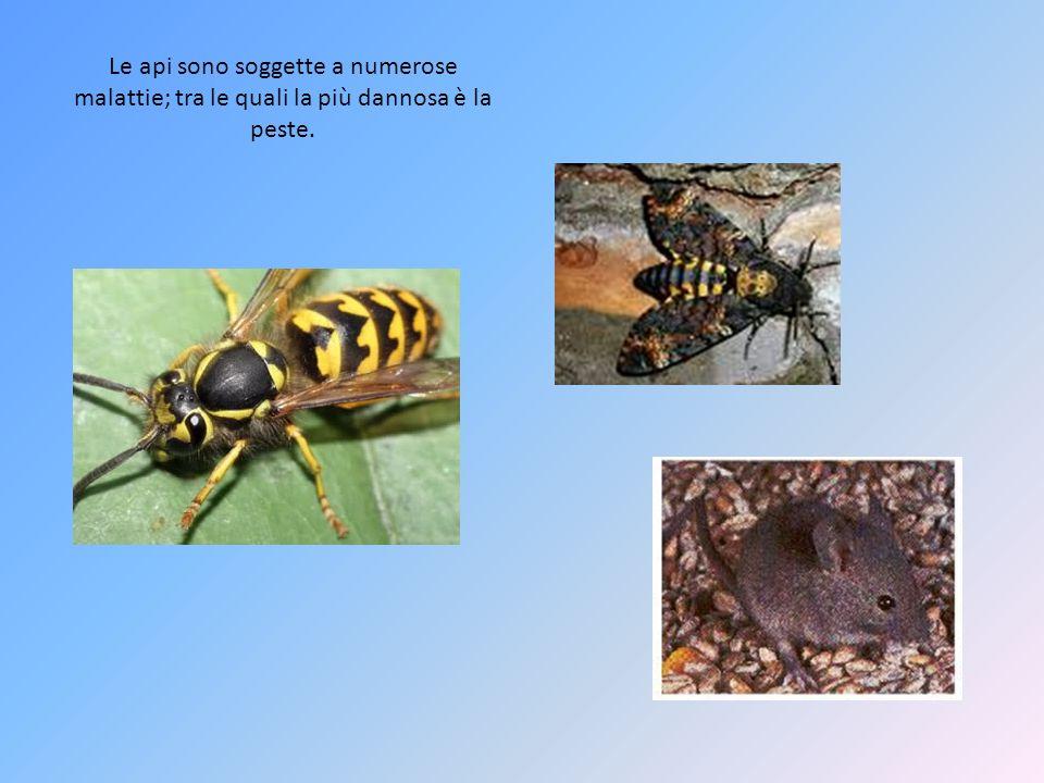 Le api sono soggette a numerose malattie; tra le quali la più dannosa è la peste.