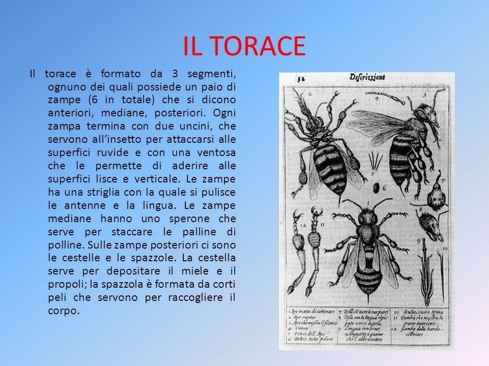 IL TORACE