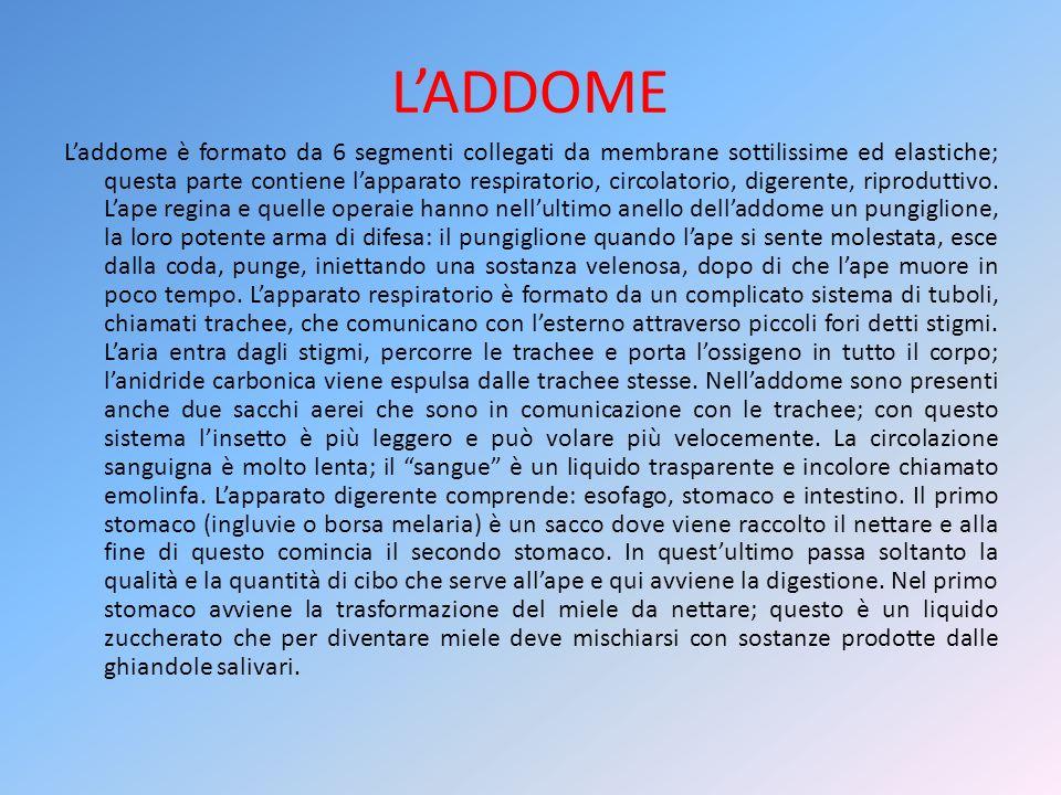 L'ADDOME